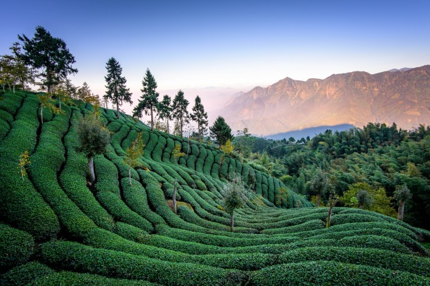 Taiwan_Mountain_Tea