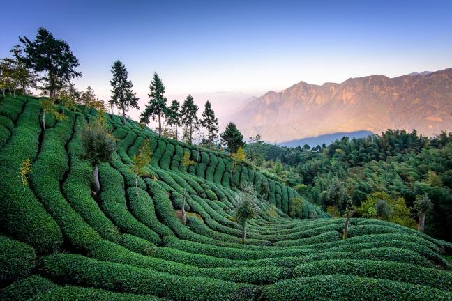 Taiwan_Mountain_Tea